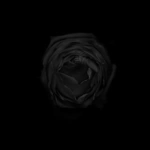 玫瑰 Rose (black)