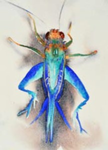 Blue Grasshopper