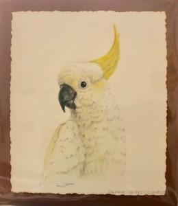 Sulphur Creasted Cockatoo