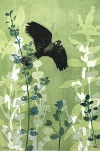 Flying Black Cockatoo in the lush green correa