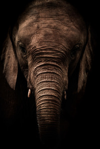 For the Elephants