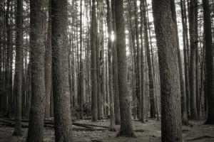 Big Deep Pines at Sunset