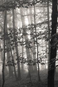 Foggy Woods, Summer morning