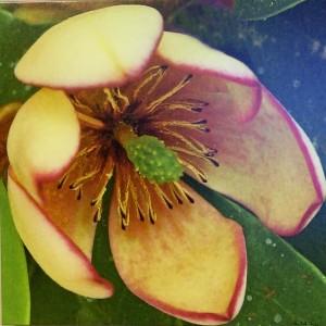 Magnolia Fuscata (17)