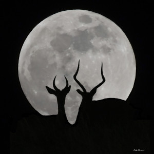 Antelope Moon