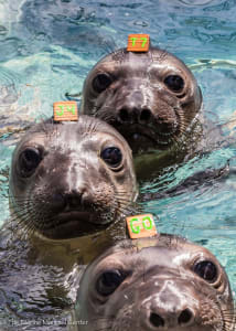 3 Norther elephant seal pups