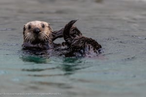 Southern or california sea otter