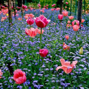 Giverny Attractive Tulip display 3