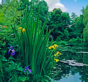 Giverny Irises by the Lily  Pond