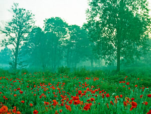 Misty morning with Woodland Poppies