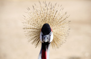 Crowned Crane, Wildlife Zoo and Aquariums, Litchfield Park, AZ