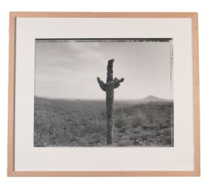 Bullet Riddled Saguaro, Near Fountain Hills, AZ 11/21/82