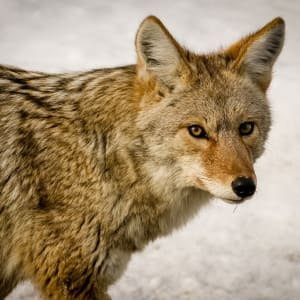 Yellowstone Coyote by Donald N. Westheimer, MD
