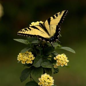 Tiger Swallowtail by Jodi Henricks