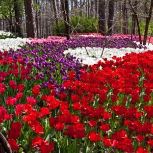 Tulips in a Woodland Garden by Ann Holmes