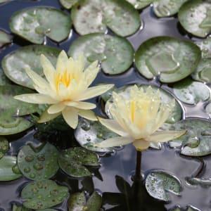 Waterlilies by Heather Bowen