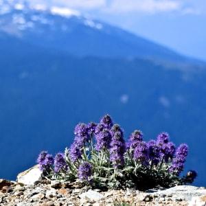 Purple Flowers on the Edge by Samantha Biba