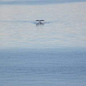 Whale Tail by Elizabeth Lancour
