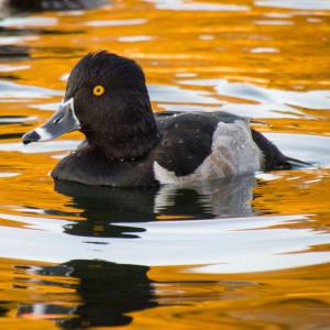 Duck à l'Orange by Matthew Bennett, MD
