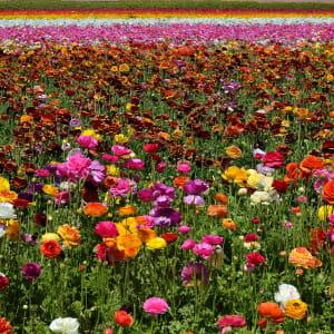 The Flower Fields by Scott Matocha