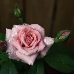 Blooming Rose, Early Spring by Magdi Ayyad