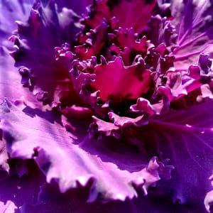 Violet Lace by Marta Lange