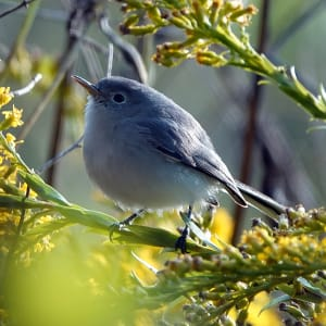 Blue Gray Gnatcatcher by Lihua Feng