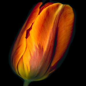 Conversation - Orange Tulip #1 by Mary Ahern