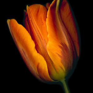 Conversation - Orange Tulip #2 by Mary Ahern