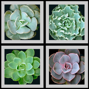 Succulents Squared by Mary Ahern