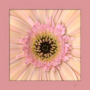 Peach Gerbera Daisy Squared by Mary Ahern