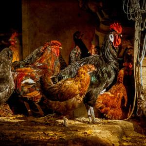 Chickens lb1510 0691 etx18 czfain