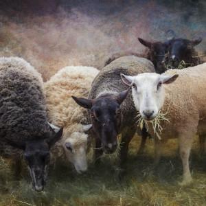 Sheep lb1704 4585 etx ssijhg
