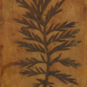 Silky Oak Leaf 2