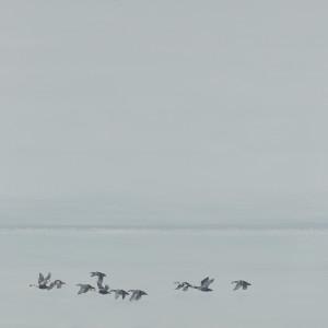 Eiders landing by F. Lipari