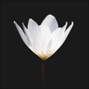 White Single Bloodroot (unframed print) by Bob Leggett