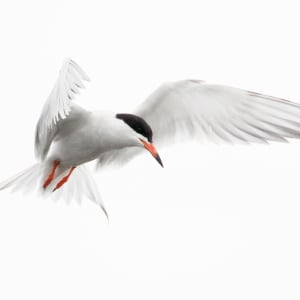 Tern (Framed Photograph)