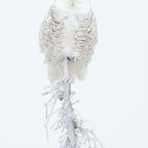 Snowy Owl (Framed Photograph)