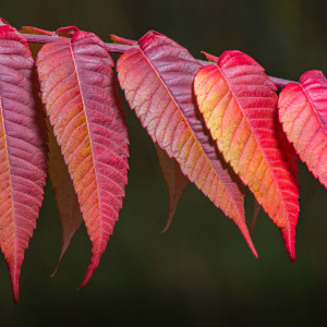 Fall Sumac (Framed Photograph)