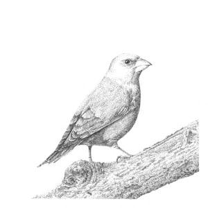 Garden Birds 2 Green Finch by Gary Wilcockson
