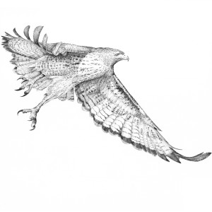 Red Tail Hawk - in Flight 01 by Gary Wilcockson