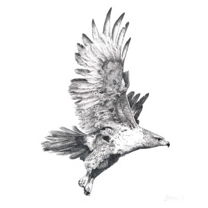 Red Tail Hawk - in Flight No2 by Gary Wilcockson