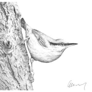 Garden Bird #1 Nuthatch