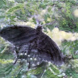 Black Swallowtail by Kathie Collinson