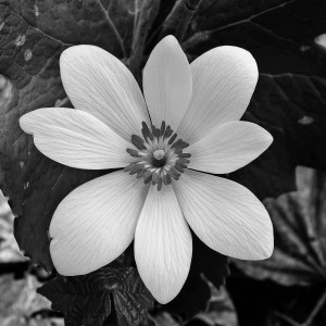 Bloodroot by Kelly Sinclair