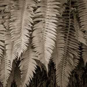 California ferns