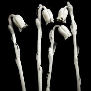 Monotropa uniflora-4 by Kelly Sinclair