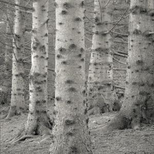 Hemlocks by Kelly Sinclair