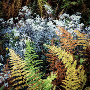 Pearly everlasting & ferns by Kelly Sinclair