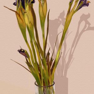 Dying Irises
